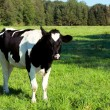 Young black nad white cow — Stock Photo