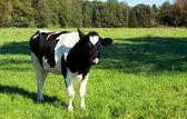 Jonge zwarte nad witte koe — Stockfoto