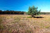 One pine outdoors — Stock Photo