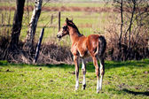 Foal on the pasture — Stock Photo