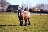 All'aperto di antico frisone cavallo — Foto Stock