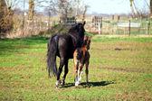 Mãe e sol cavalos — Foto Stock