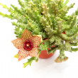 Stapelia flower - Foto Stock