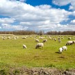 Big pasture with many sheeps — Stock Photo