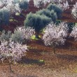 Almond and olive trees - Stock Photo