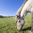 Horses grazing - Stockfoto