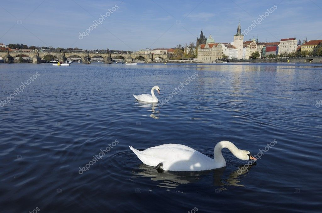 White swans on Vltava river, Prague, Czech Republic — Stock Photo #9523187