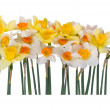 Royalty-Free Stock Photo: Yellow and white narcissus
