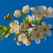 Blossoming cherry — Stock Photo #10317716