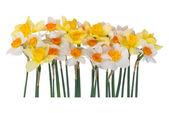 Narciso giallo e bianco — Foto Stock