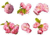 Set of pink flower — Stock Photo