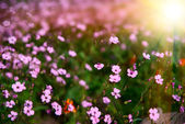 Field of flowers with the sun — Stock Photo