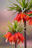 Orange crown imperial flowers — Stock Photo