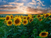 Summer landscape with sunflowers field — Stock Photo