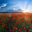 Big field of poppies - Stock Photo