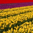 Tulip field in Holland — Stock Photo