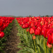 Stock Photo: Red tulip field