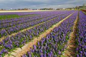 Hyacinthus field in Holland — Stock Photo