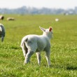 Lamb in the meadow — Stock Photo