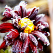 Frost on a flower — Stock Photo