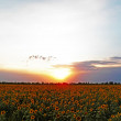 Sunflowers sunset — Stock Photo