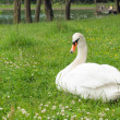 Royalty-Free Stock Photo: White swan in the park