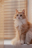 Siberian cat on the windowsill — Stock Photo