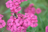 Bumblebee on pink carnations — Stock Photo