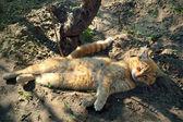 Lazy cat — Stock Photo