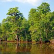 Cypress swamp in Bayou — Stock Photo #8854099