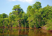 Cypress swamp in the Bayou — Stock Photo