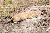 Prairie Dog at its Den — Stock Photo