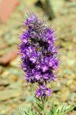 Alpine wildflower in the tundra — Stock Photo