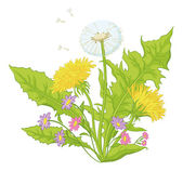 Flowers dandelions with leaves — Stock Vector