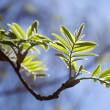 Fresh mountain ash leaves - Stock Photo