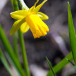 Yellow narcissus flower - Stock Photo
