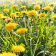 Yellow dandelion closeup photo -  