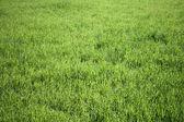 Taze ot arka plan yeşil alan — Stok fotoğraf