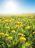 Field of grass with yellow dandelion — Photo