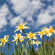 Field of narcissus flowers - Stock Photo