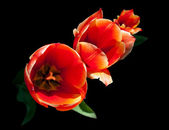 Bright red tulip flowers isolated on black background — Stock Photo