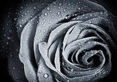 Flor rosa com gotas de água — Fotografia Stock