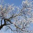Stock Photo: Blossoming apricot tree