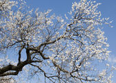 Blossoming apricot tree — Stock Photo