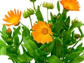 Fleurs de souci — Photo