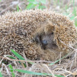 Stock Photo: Little hedgehog in close-up