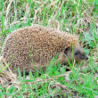A little hedgehog — Stock Photo