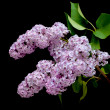 Blooming lilac branch (Syringa) closeup — Stock Photo