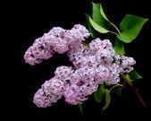 Blooming lilac branch (Syringa) closeup — Stock Photo