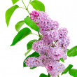 Branch of lilac (Syringa) on white background — Stock Photo #10531995